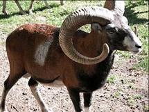 Muflón Común, extendido por toda Europa (Ivo Wildlife Park, en Transilvania)